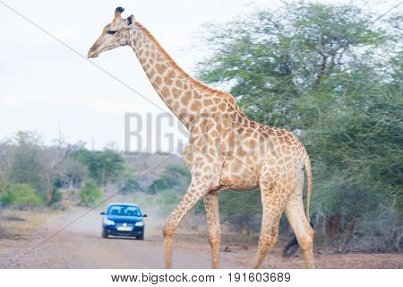 Giraffe Crossing The Road In The Kruger National Park, Major Travel Destination In South Africa. Saf