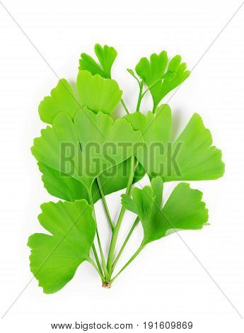 Branch with green leaves of Ginkgo Biloba isolated on a white background.