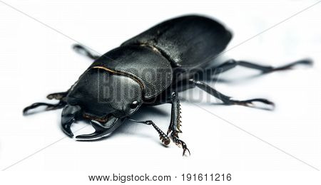 Young stag beetle (Lucanus cervus) isolated on white background
