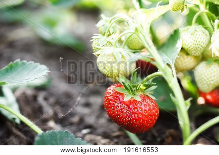 Strawberry Ripens In The Garden. The Red Strawberry Is Growing And Ripening. Strawberry Branch With