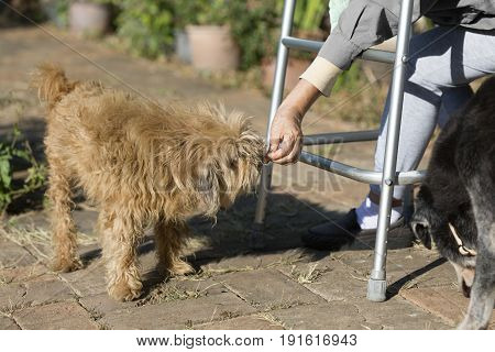 Senior woman sitting with walker and feeding her old dog.