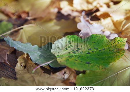 Close-up view on autumn leaves of maple and oak