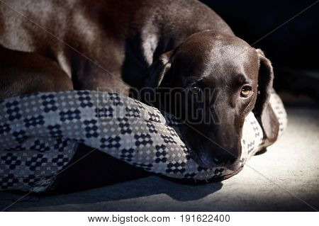 Sad German short-haired pointer laying down alone