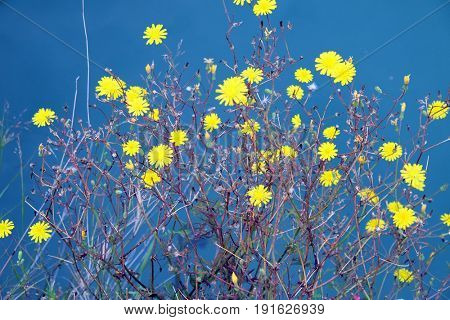 Bright yellow flowers against the background of blue water