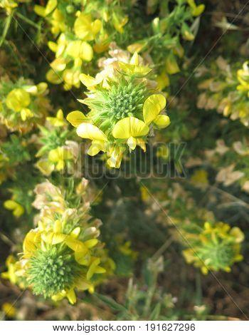 Yellow Gorse Flowers