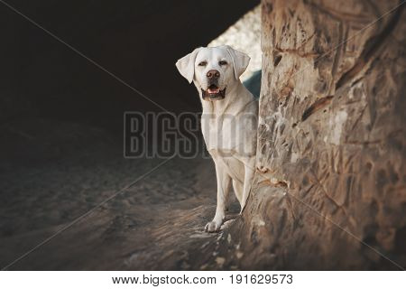 young beautiful labrador retriever dog puppy pet in the forest during a sunny hiking pause sitting in a cave