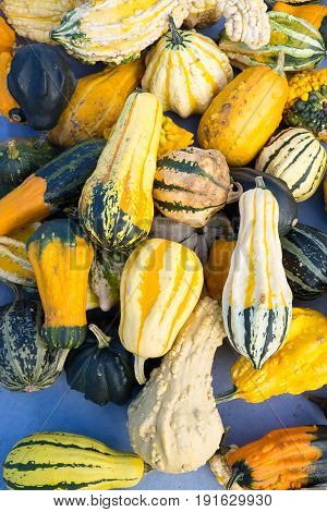 Colorful background of assorted ornamental gourds or quash with variegated yellow green orange and white patterned skin viewed from above.