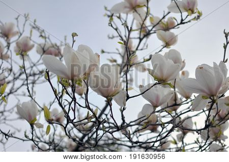 Spring Branch of a Blossoming Magnolia Tree with Pink and White Flowers and Buds