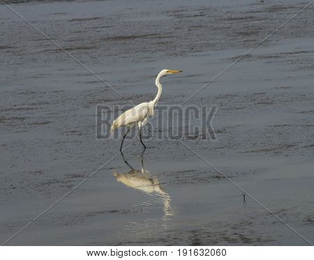 A White Heron searches the waters of the Bouge Sound for dinner.