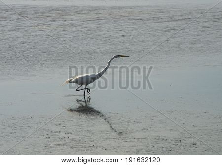 A White Heron hunts for a meal on the Bouge Sound at Salter PathNorth Carolina