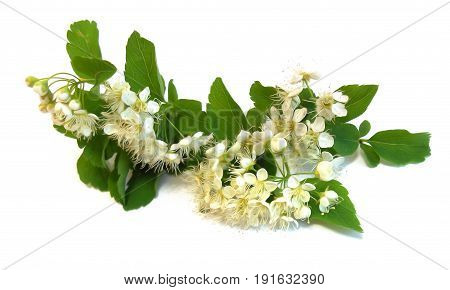White Bird Cherry Branch Isolated Flower, Photo Manipulation