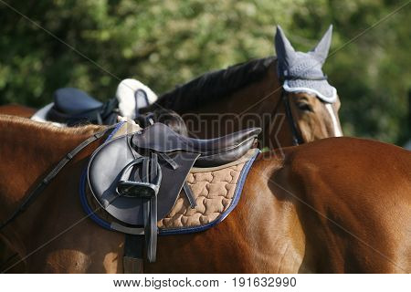 Chestnut colored show jumper horse under saddle waiting for rider