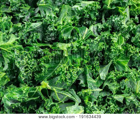 Fresh green healthy superfood vegetable kale leaves on wooden rustic table.