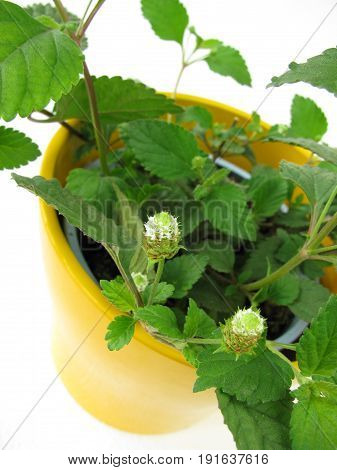 Aztec sweet herb with leaves in flowerpot