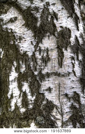 Detailed image of the texture of birch bark.