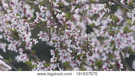 prunus incisa sakura in bloom, wide photo