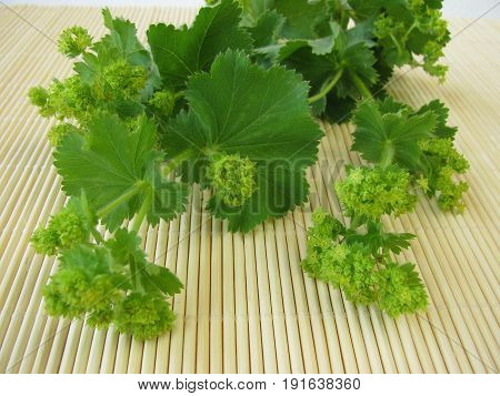 Bunch of Lady's mantle wit leaves and flowers