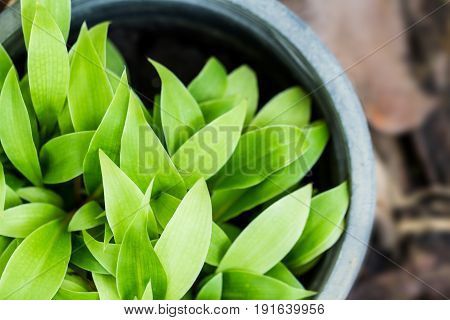 Small green-leaf plant are growing in the black plastic pot