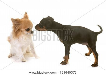 puppy manchester terrier and chihuahua in front of white background