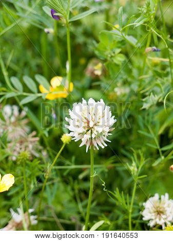 Lovely White Clover Flower Head