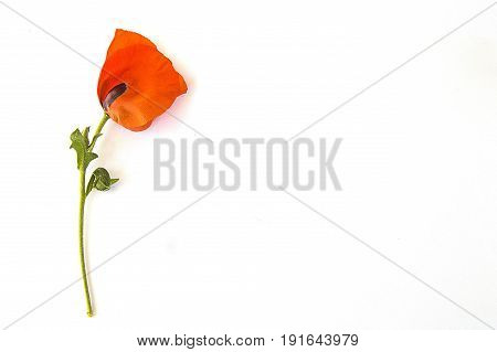 On the white ground are poppy flowers, poppy leafs, the best poppy flowers for projects and designs,