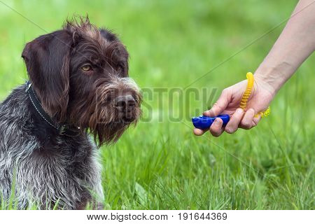 hand of woman training young dog with clicker on the green summer background