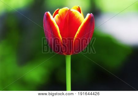 A single fire colored tulip on a blurred green background.
