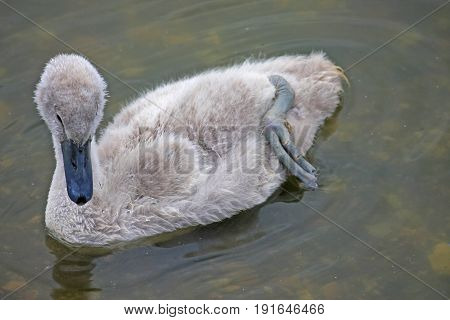 Baby cygnet swan swimming in a lake