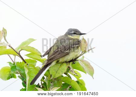 The photograph shows a wagtail on a branch