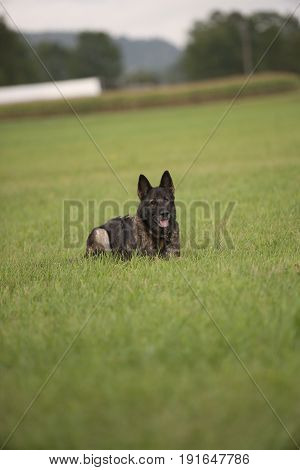 Obedient German Shepherd lying on grass and waiting for next command from his owner.