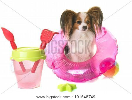 papillon dog in holiday in front of white background