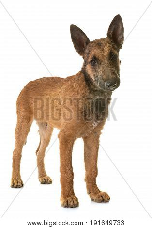 puppy belgian shepherd laekenois in front of white background