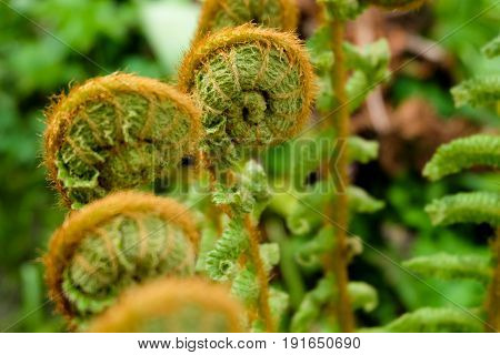 Horizontal photo of beauty unfurling fiddlehead ferns