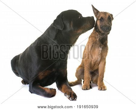 puppy belgian shepherd laekenois and rottweiler in front of white background