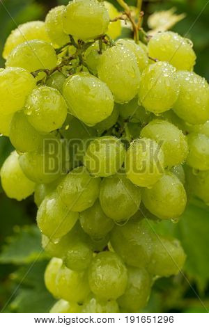 Healthy Fruits White Wine Grapes Riping In The Vineyard, Wine Grapes, Bunch Of Grapes Ready To Harve