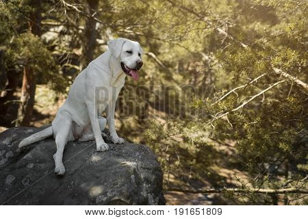 young cute white labrador retriever dog puppy plays with a piece of woodin the forest during a hiking vacation