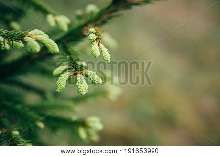 Young fir tree needles with water drops. Horizontal close up of morning dew on fir tree branches with forest in the background. Copy space.