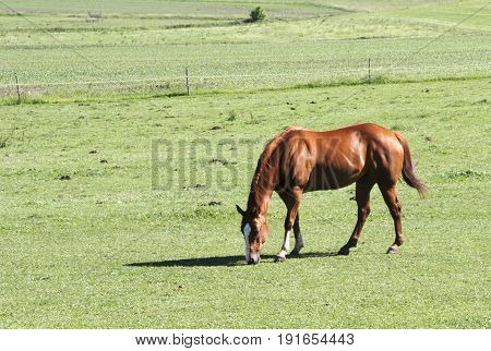 Horse grazing in the morning sun on a green grass pasture