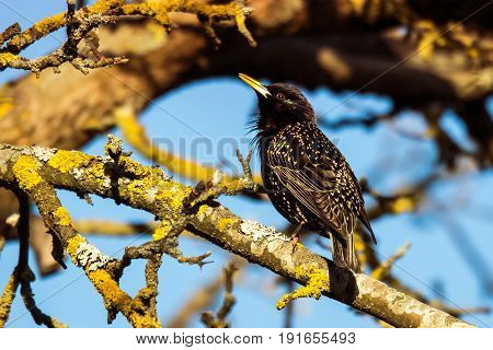 Common starling - singer on the apple tree. The bird in summer.
