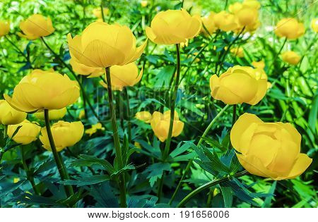 Beautiful yellow flowers Trollius asiaticus on flowerbed in garden.