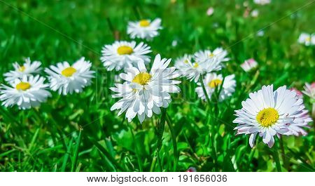 White daisies in green grass in the garden.