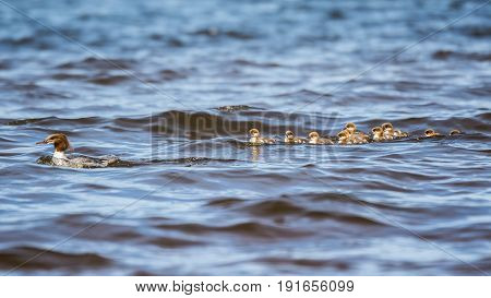 The Ducklings following their mother in line.