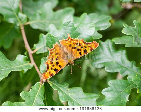 comma butterfly on some leaves outside day