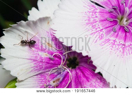 Ant on a white flower. Chinese carnation