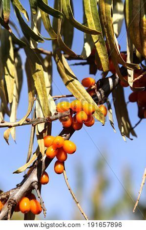 Branch of autumn sea buckthorn berries close-up
