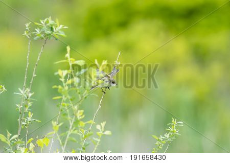 Willow Flycatcher launching into flight from twig