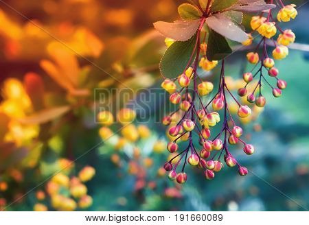 Yellow with red flowers of blossoming barberry closeup on a blurred background. Selective focus toned.