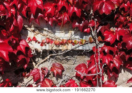 Old stone wall grown over with virginia creeper leaves