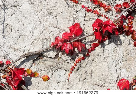 Fragment of old stone wall grown over with virginia creeper crimson foliage
