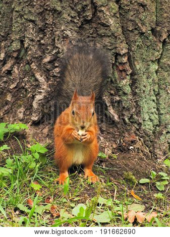 a little red squirrel sitting on the ground waiting for the nuts